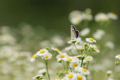 gėlės, kogiku, Wildflower, pobūdį, gėlių sodas, drugelis, augalai, vabzdžiai, chrizantema