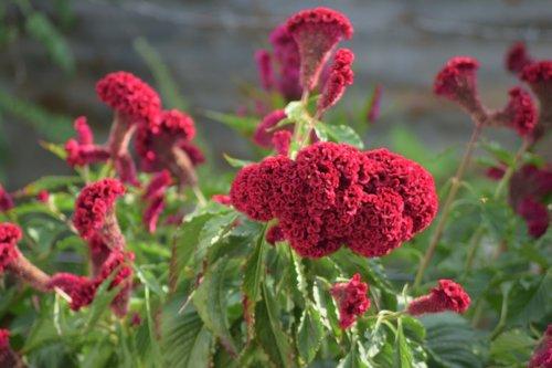 gėlės, laukas, žmonių, raudona, pobūdį, laukinių gėlių, gėlė, laukinių srityje, laukinių, Grožio, spalvos, Sodas, kraštovaizdis, vaikščioti, augalai, raudonos gėlės