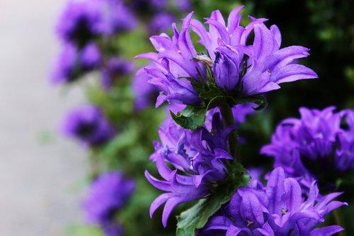 gėlės, rutuliai-lašintuvu yra tinkamas, melodija yra orientuota, gėlės, violetinės gėlės, mėlynos gėlės, sodo gėlės, Sodas, Sode, pavasaris, vasara, rutuliai, natūralus, gėlė, aromatinės medžiagos