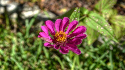 gėlės,fuksija,flora