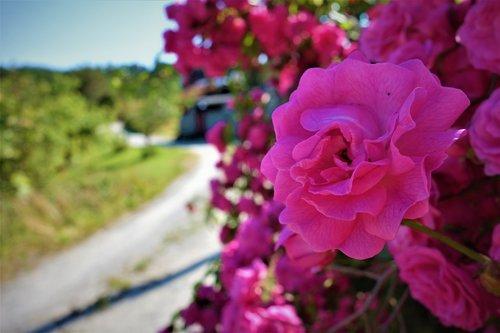 gėlės, rožinis, Iš pobūdį, rožės, išaugo, vasara, romantiškas, meilė, pobūdį, gėlė