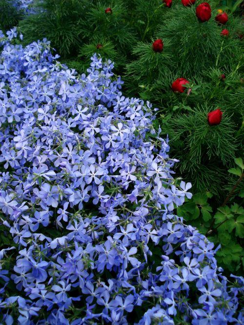 gėlės,pavasario gėlės,mėlynos gėlės,purpurinės gėlės,mažos gėlės,spider gėlė,purpurinė gėlė,gėlė,violetinė,mažas,gamta,flora,žydėti,raudona,gražus