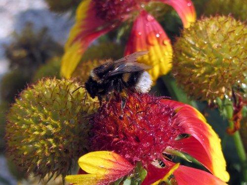 gėlės, bičių, vabzdys, pobūdį, augalų, vasara, žiedadulkės, makro, Iš arti, Sodas, medaus BITĖ, gyvūnas, žydėjimas