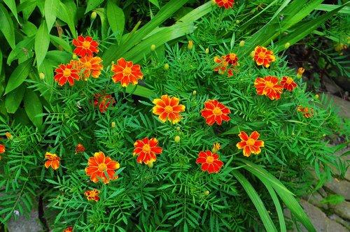 gėlės, Sodas, atogrąžų milkweed, oranžinė, žalias, augalų, pobūdį, floros, vasara