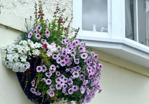 gėlės, kabo krepšys, langas, gėlių, petunias, violetinė