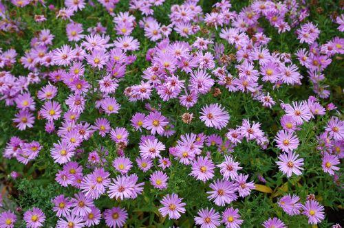 gėlės,violetinė,pavasaris,žiedas,žydėti,Uždaryti,augalas,gražus,žydėti