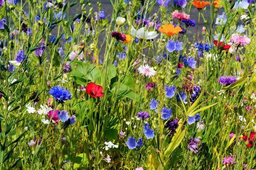 gėlės,blütenmeer,žydėti,spalva,spalvinga,farbenpracht