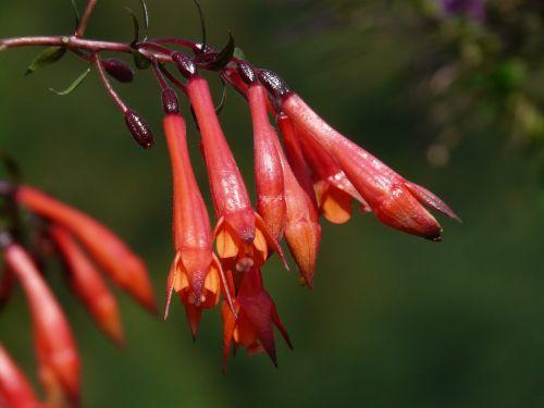 gėlės,fuksija,raudona,oranžinė,raudona oranžinė,priklausyti,uždaryta,flora,vakarinė šakniavaisė,Onagraceae,fuksijos gėlės,gėlė,kabantis,trichterförmig,fuksija triphylla,koralų fuksija,pailgos,vamzdinis,ilgai