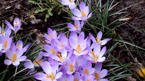 gėlės,violetinė,pavasaris,sezonai