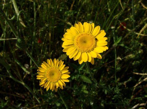 gėlės,žydi,sodas,gėlių,geltona,aukso marguerite,anthemis tinctoria,žiedai,žiedlapiai,ramunė,Daisy,daugiametis,augalai