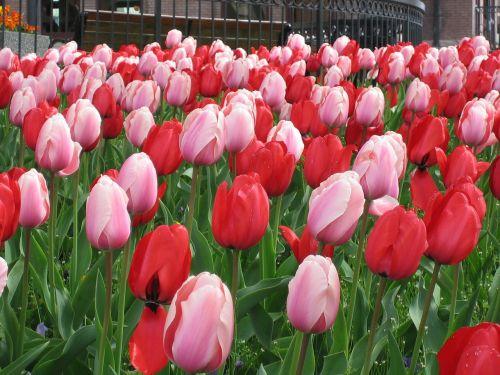 gėlės,tulpės,balta,raudona,auga,gėlių,žiedai,augalai,spalvinga,žiedlapiai,žydi,sodas,šviežias
