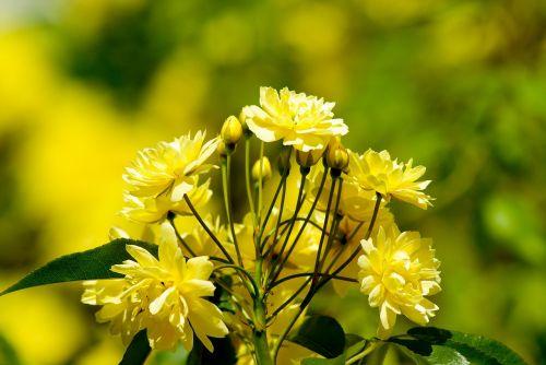 gėlės,rožės,žydėjo,rožių krūmas
