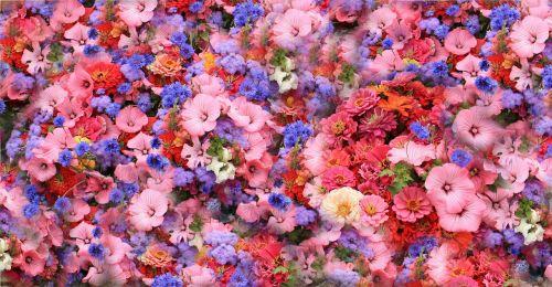 gėlės,pavasaris,parkas,lova,Pansy,violetinė,altas,violaceae