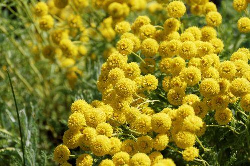 gėlės,geltona,Uždaryti,žydintis krūmas,geltona gėlė,gamta,Auksinis pirštas,aukso geltona