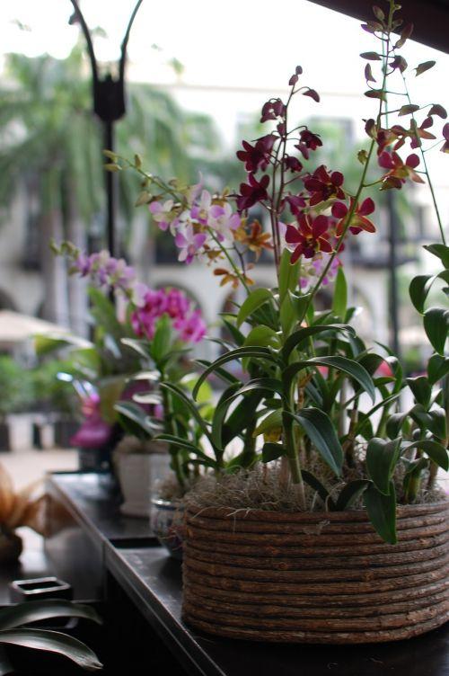 gėlės,augalų puodas,gamta,gėlė,katytė orchidėja,derliaus gėlės,orchidėjų gėlė,violetinė orchidėja,augalai,rosa,paphiopedilum spp,rožinė orchidėja,žiedlapiai,šlepetės orchidėja,orchidėja,pistil
