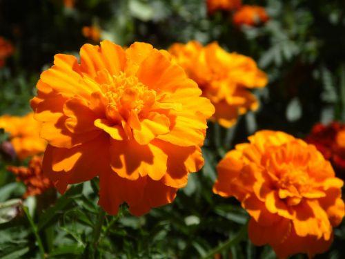 gėlės,gėlė,vasaros gėlės,gamta,graži gėlė,sodo gėlės,žydėti,augalas,vasara,Iš arti,gražios gėlės,oranžinė gėlė