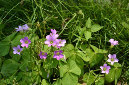 gėlės ir augalai,dobilas,vasara