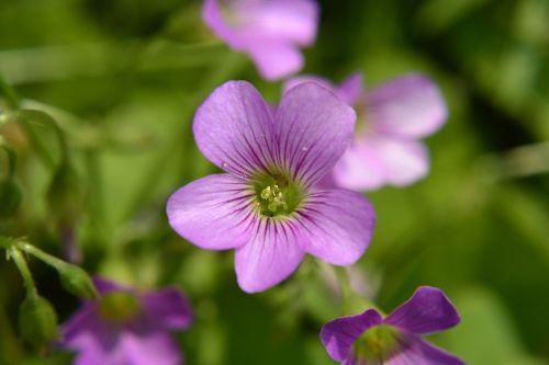 gėlės ir augalai,vasara,dobilas