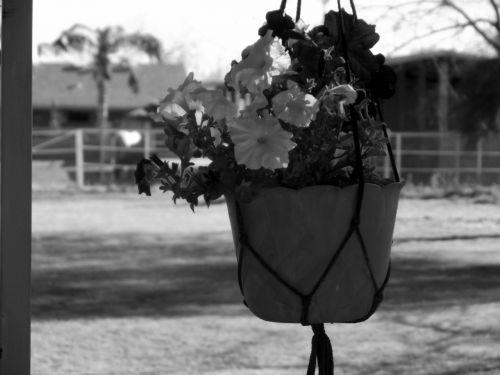 gėlės, puodą, kabantis, juoda, balta, gėlių pakabinti puodą
