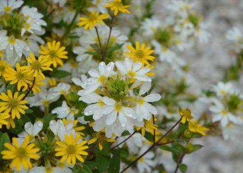 didžiulių gėlių,parterre,vasara,botanika,flora,augalai,geltona,balta,botanikos flora,spalvos,augalas,gėlės,gamta,sodas