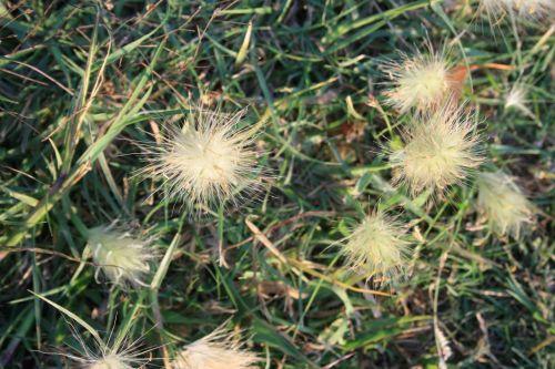 žolė, kuokštelės, sėkla, gėlė, balta, purus, purus baltos žolės sėklos puokštės