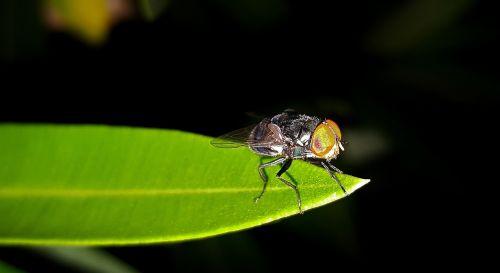 skristi,housefly,vabzdys,vabzdžiai,lapai,Iš arti,mažas,sparnai,skraidantis vabzdys,sparnuotas vabzdys,kenkėjas,nepatogus,Oleander,naktis,entomologija,nariuotakojų,diptera