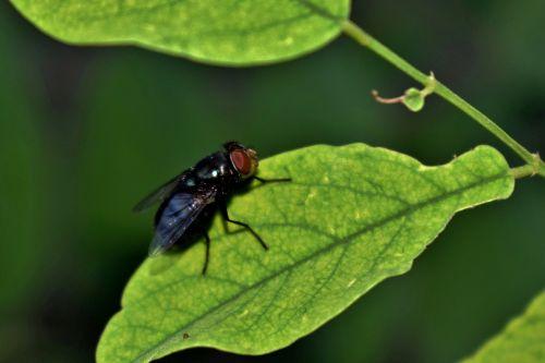 skristi,housefly,vabzdys,vabzdžiai,lapai,Iš arti,mažas,sparnai,skraidantis vabzdys,sparnuotas vabzdys,kenkėjas,nepatogus,entomologija,nariuotakojų,diptera