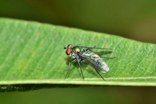 skristi,ilgi kojos skristi,vabzdys,žalias vabzdys,metalinis vabzdys,padaras,gyvūnas,vabzdžiai,metalinis,lapai,Iš arti,makro,mažas,sparnai,skraidantis vabzdys,sparnuotas vabzdys,kenkėjas,nepatogus,biologija,entomologija,nariuotakojų,dolichopodidae,Chrysosoma spp.