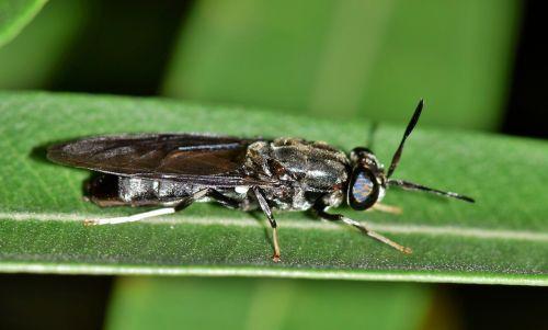 skristi,juodas kareivis skristi,vabzdys,juodas vabzdys,padaras,gyvūnas,vabzdžiai,lapai,Iš arti,makro,skraidantis vabzdys,sparnuotas vabzdys,biologija,entomologija,nariuotakojų,hermetia illucens