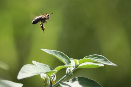 skristi,bičių,gėlė,vabzdys,apis,Mellifera,medaus BITĖ,žiedadulkės,išplistų,bitininkystė,bitininkystė,natūralus,Buzz