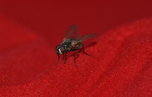 skristi,mažas,juoda,sparnas,vabzdys,Uždaryti,gyvūnas,gyvūnų pasaulis,mažas pasaulis,laukinės gamtos fotografija,padaras,mažas,makro