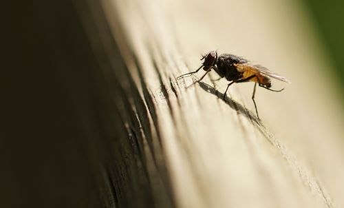 skristi,vabzdys,sparnas,gamta,Uždaryti,makro,jungtinės akys,gyvūnai