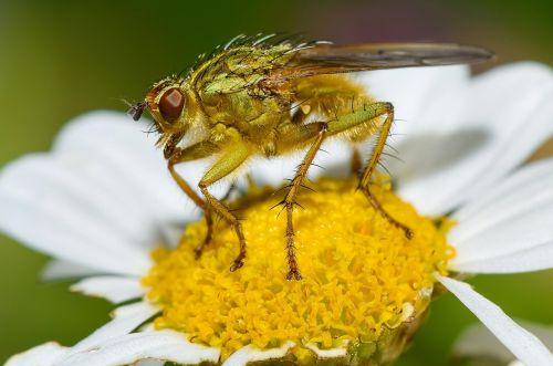 skristi,makro,maitinimas,vabzdys,sparnai,gėlė,Daisy,žiedadulkės,žydėti,žiedas,maistas,gamta,galva,akys,Uždaryti,klaida