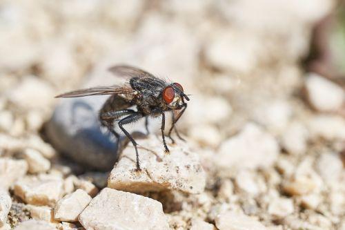 skristi,vabzdys,makro,sparnas,Uždaryti,jungtinės akys,gamta,makrofotografija,padaras,vabzdžių makro