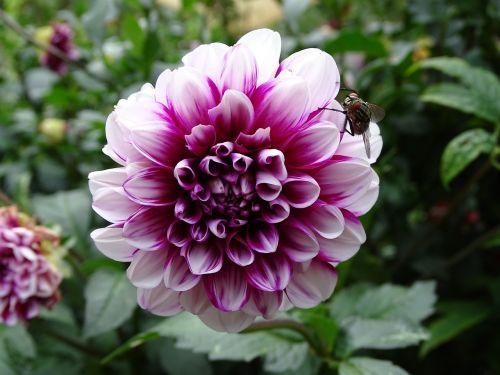 skristi,dahlia,gėlės,sodo augalas,dahlia sodas,balta rožinė,žiedlapiai,vasaros pabaigoje