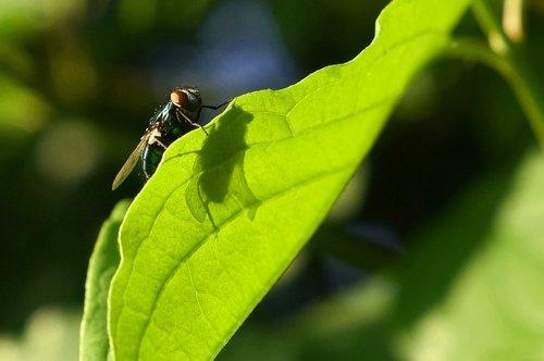 skristi, šešėlis, lapų, šviesos, vasara, vabzdys, žalias, rasa, pobūdį, makro, žolės, floros, saulės, hum, nuotaika, abendstimmung, augalų, Iš arti, sparnas, Kambarinė musė, vabzdžiai miršta, miręs, gyventi