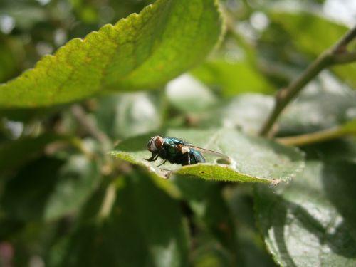 skristi,namuose skristi,vabzdys,bendras namas skristi,housefly,Hymenoptera,jungtinės akys,didžiulis,gyvūnas,lapai,mažas gyvūnas,fauna