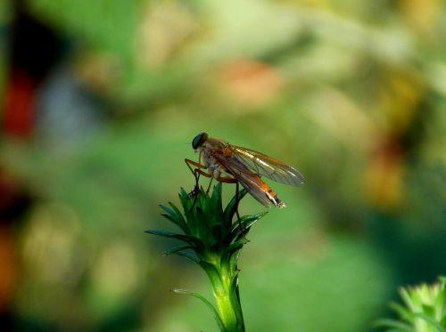 skristi,vabzdys,aukso schnepf skristi,schnepf skristi,skraidantys vabzdžiai,gamta,gyvūnai,sodas,sparnas,vasara,gyvūnų pasaulis,fauna,Uždaryti