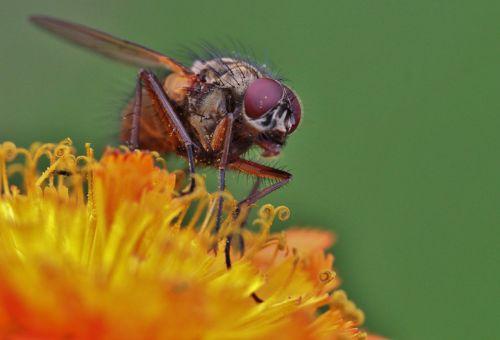 skristi,jungtinės akys,skristi makro,vabzdys,vabzdžių makro,gyvūnas,Uždaryti,fauna,gyvūnų pasaulis,flora,augalas,makro,gamta,makro nuotrauka,makrofotografija,žiedas,žydėti,gėlė,sodas,žydėti,žiedadulkės,apdulkinimas,žiedynas,vasara,nektaras,kojos,sparnas,žalias