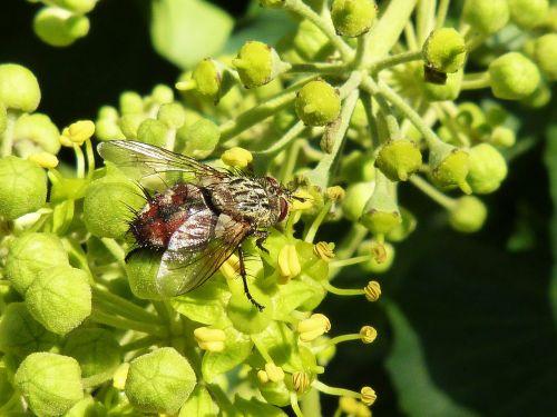 skristi,nemalonumas,botfly,horsefly