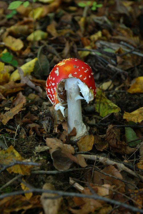 skristi agaro,grybai,toksiškas,nuraminti,raudona,pastebėtas,amanita muscaria,grybelinės rūšys,amanita parcivolvata giminaitis,šiek tiek toksiškas,raudonasis agaro grybas,muscaria,sėkmės simbolis