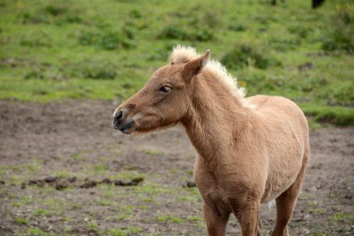 kumeliukas,iceland pony,gyvūnas,padaras