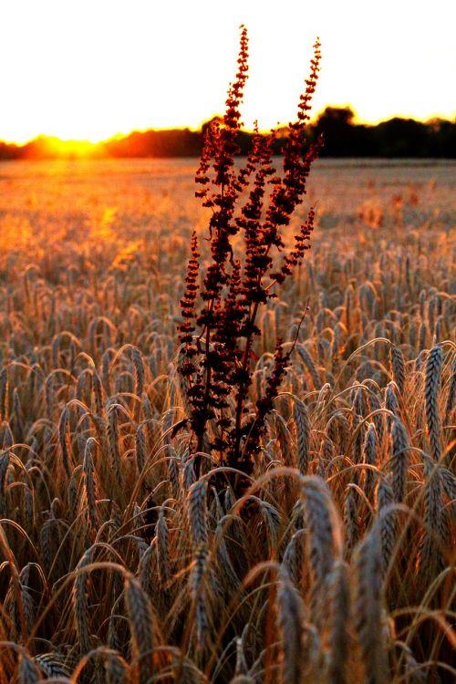 dėmesio,kvieciai,laukas,grūdai,rugių laukas,grūdai,sausas,auksas,vasara,miežių laukas,gamta,saulėlydis,nuotaika,dusk,šešėlis
