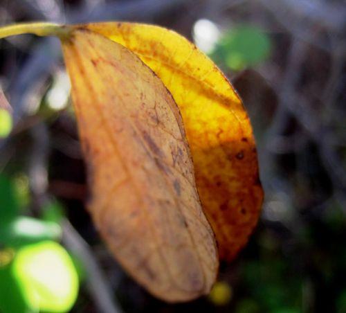 lapai, dvigubas, sulankstytas, suapvalintas, geltona, pasididžiavimas & nbsp, viršūnė, sulankstyti geltonieji lapai