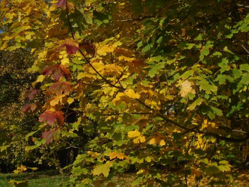 lapija,ruduo,mediena,rudens lapai,spalvoti lapai,geltona,žalias,ruda,Burgundija,gamta,geltonieji lapai,rudieji lapai,atostogos,kirvis,saulės šviesa,spalva