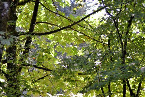 lapija, žalias, lapai, daug, parkas, augalai, medžiai, taika, lapija