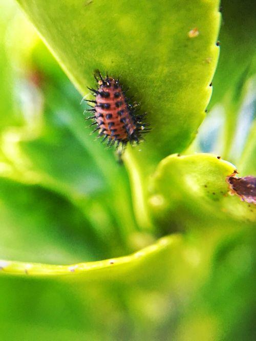 lapija,žalias,žalias lapas,gamta,augalas,vasara,blackfly,parazitinis,krūmas