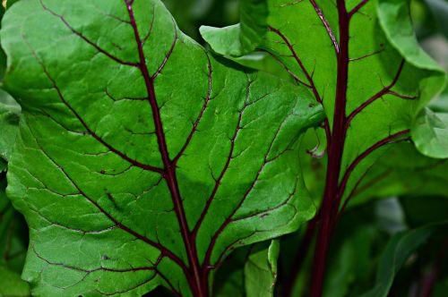 lapija,žalias,žalias lapas,gamta,augalas,lapai,fotosintezė,Burokas,makro
