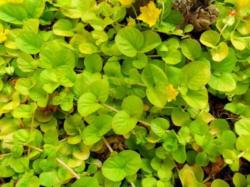 lapija, žalias, lapai, daug, parkas, augalai, medžiai, taika, lapija 4