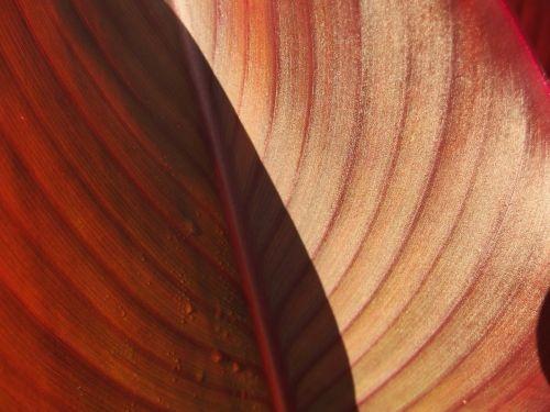 lapija,raudona,flora